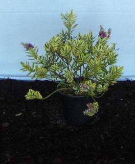 Viveiros hebe for Hebe arbusto