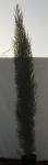 Cupressus  Sempervirens (=cipreste)