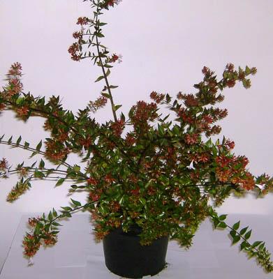 Abelia grandiflora 5L