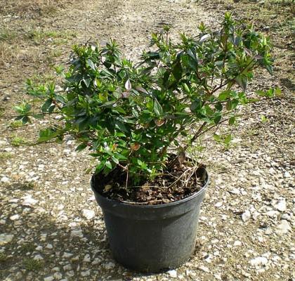 Abelia grandiflora V3L