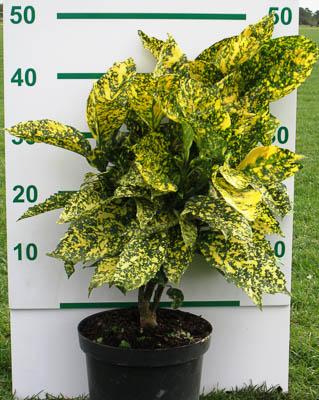 Aucuba japonica crotonifolia C3L