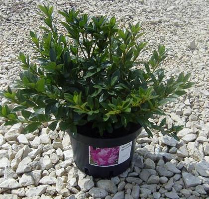 Azalea Japonica V2L