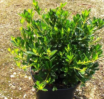 Azalea japonica C5L 30-40