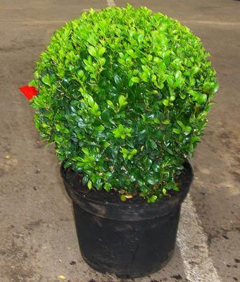 Buxus sempervirens 30cm+ 6€