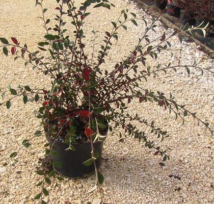 Cotoneaster Franchetii C5L