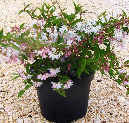 Deutzia Mont Rose V5L