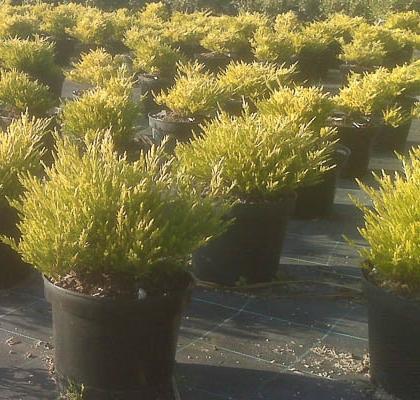 Diosma  ericoides aurea V3L