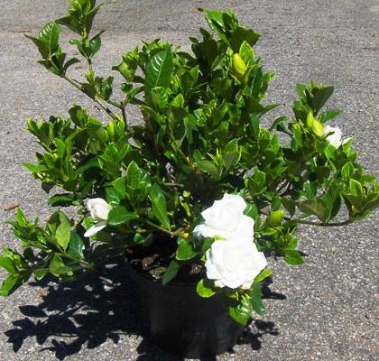 Gardenia V3L