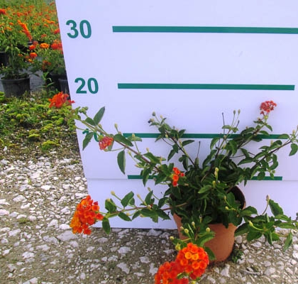 Lantana mont laranja V1,3L