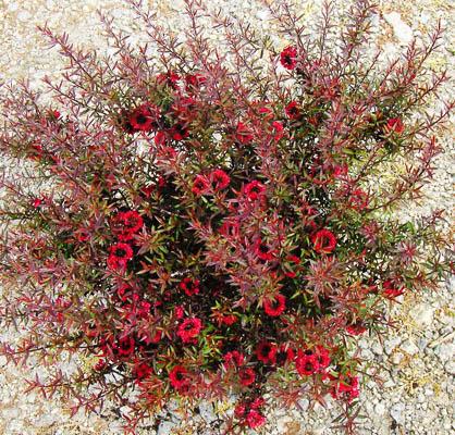 Leptospermum 5L rouge