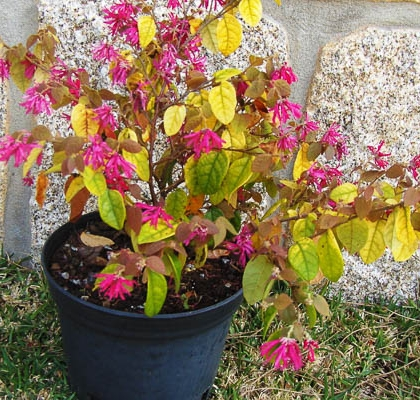 Loropetalum Chinensis C3L 20-30
