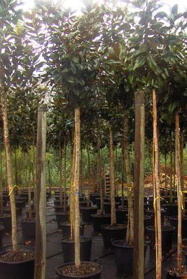 Magnolia Grandiflora B60L (CZ)