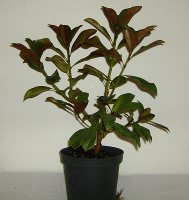 Magnolia Grandiflora C5L 40-60