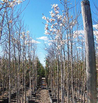 Magnolia Kobus C15L