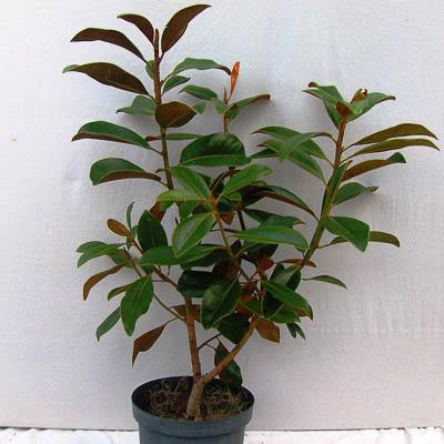 Magnolia grandiflora 40-60