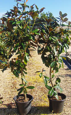 Magnolia grandiflora V15L 150alt