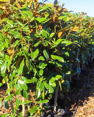 Magnolia grandiflora V15L Lote