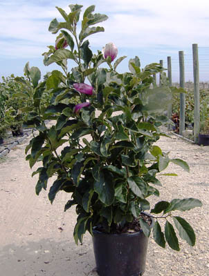 Magnolia soulangeana  C15L 100-120