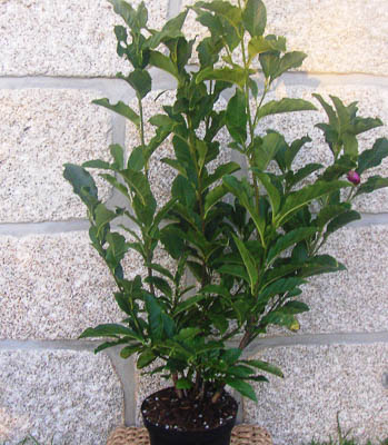 Magnolia soulangeana jane C5L