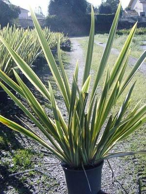 Phormium Variegatum C10L 80-100cm