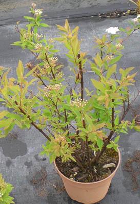 Spirea cantoniensis v1.3L