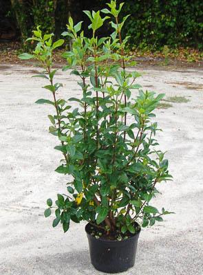 Viburnum Tinus C3L 50-60 cm