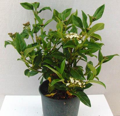 Viburnum tinus 1,3L (3)