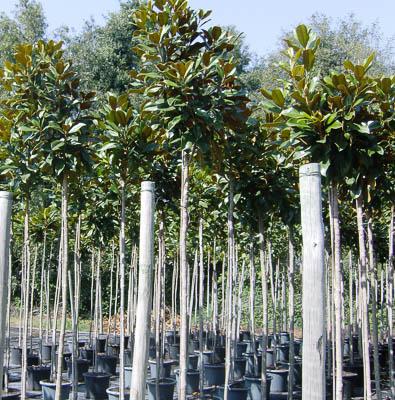magnolia grandiflora v30l