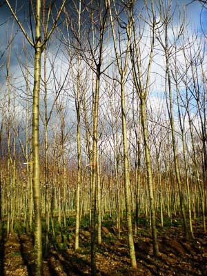 Acer pseudoplatanus PAP 10_12