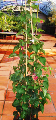 Bougainvillea c2,5l 80-100