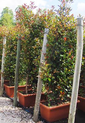 Floreira Photinia 100x45x30 -200-250