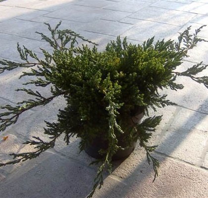 JUNIPERUS BLUE CARPET C5L
