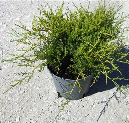 JUNIPERUS PFITZERIANA OLD GOLD 2,5L