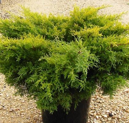 Juniperus Gold Cost