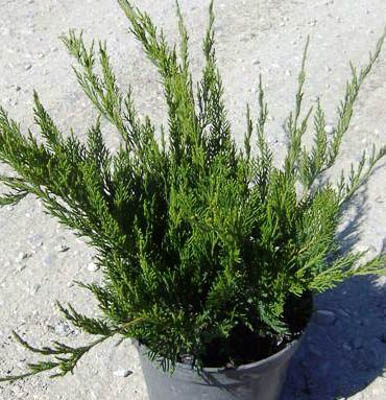 Juniperus Mint Julep 2,5L