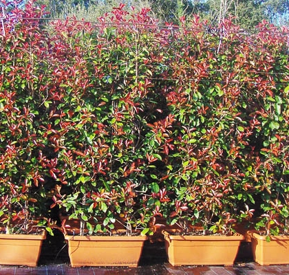 Photinia (Floreira)