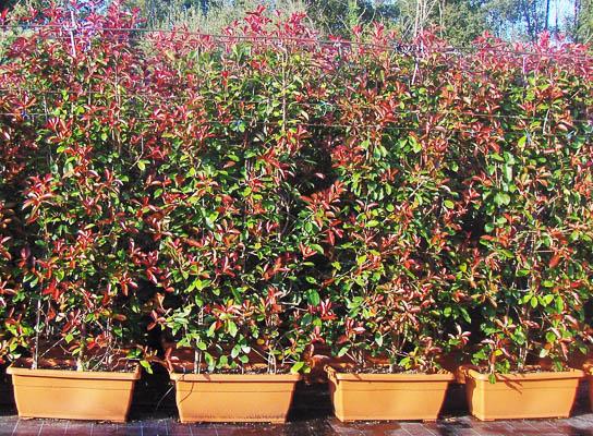 photinia serrulata red robin 3 plantas 100x42x37 200. Black Bedroom Furniture Sets. Home Design Ideas