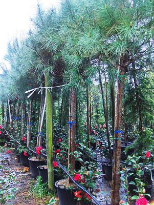 Pinus pinea 14-16