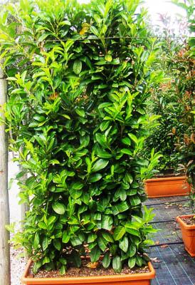 Prunus laurocerassus (Floreira)