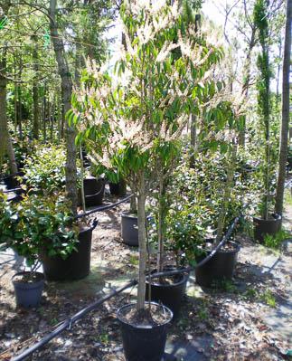 Prunus lusitanica demi-tige 16_18