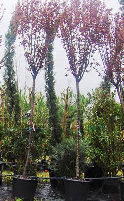Prunus pissardi 10-12 Grijó