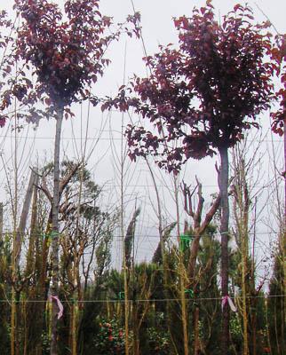 Prunus pissardi 8-10