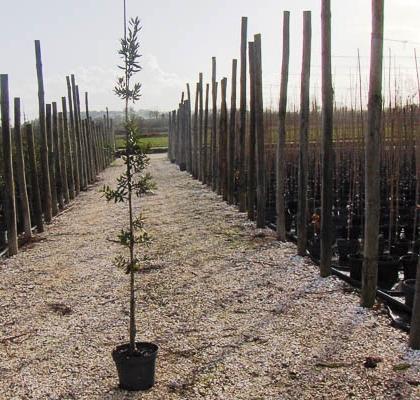 Quercus Ilex C7,5L 125-150