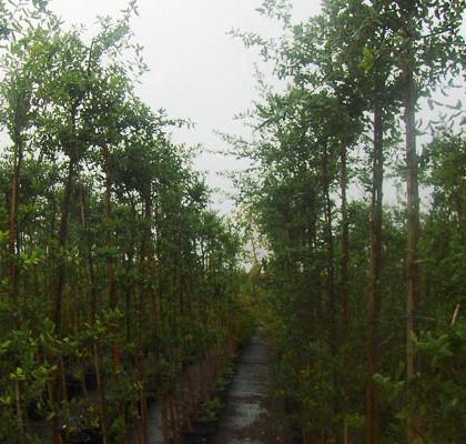 Quercus Suber B30L 6-8 (CZ)