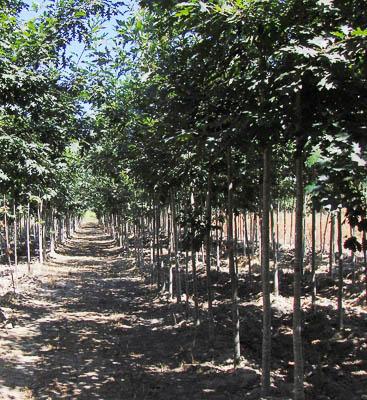 Quercus robur 14-16