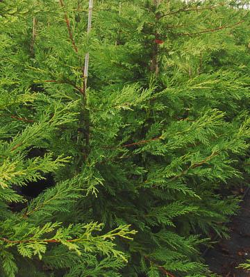 cupressocLeylandii V15L 150-175-200